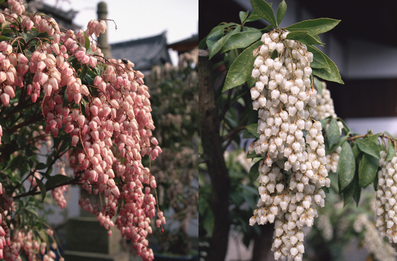 大通寺の馬酔木(あせび)展|赤、白、ピンク約50鉢が勢揃い