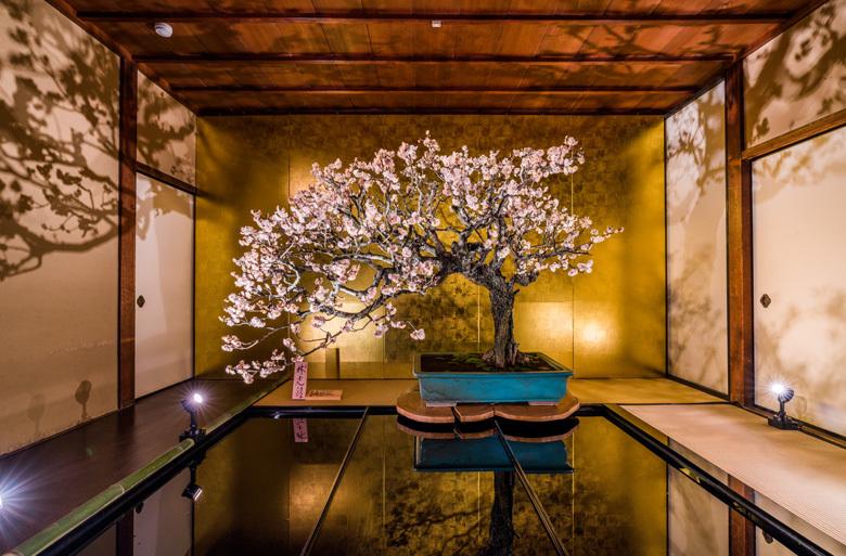 長浜盆梅展|日本一の盆梅展